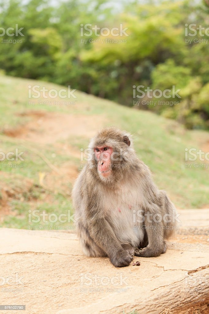 Macaque monkey sitting on ground stock photo