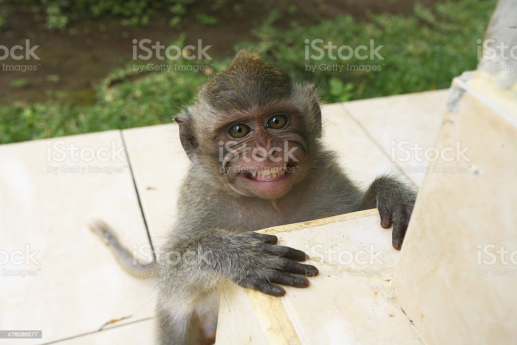 macaque monkey smiling in Bali stock photo