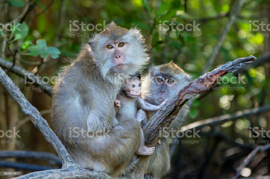 Macaque monkeys in Langkawi, Malaysia stock photo