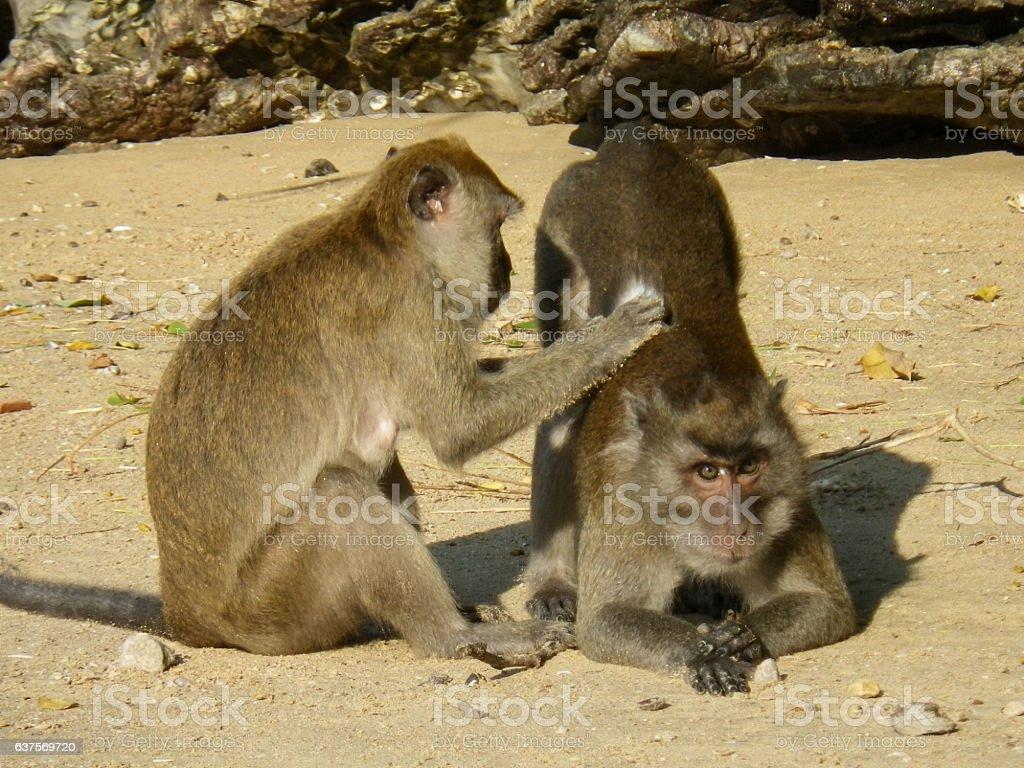 Macaque Monkeys (Macaca fascicularis) Wild Primates Grooming stock photo