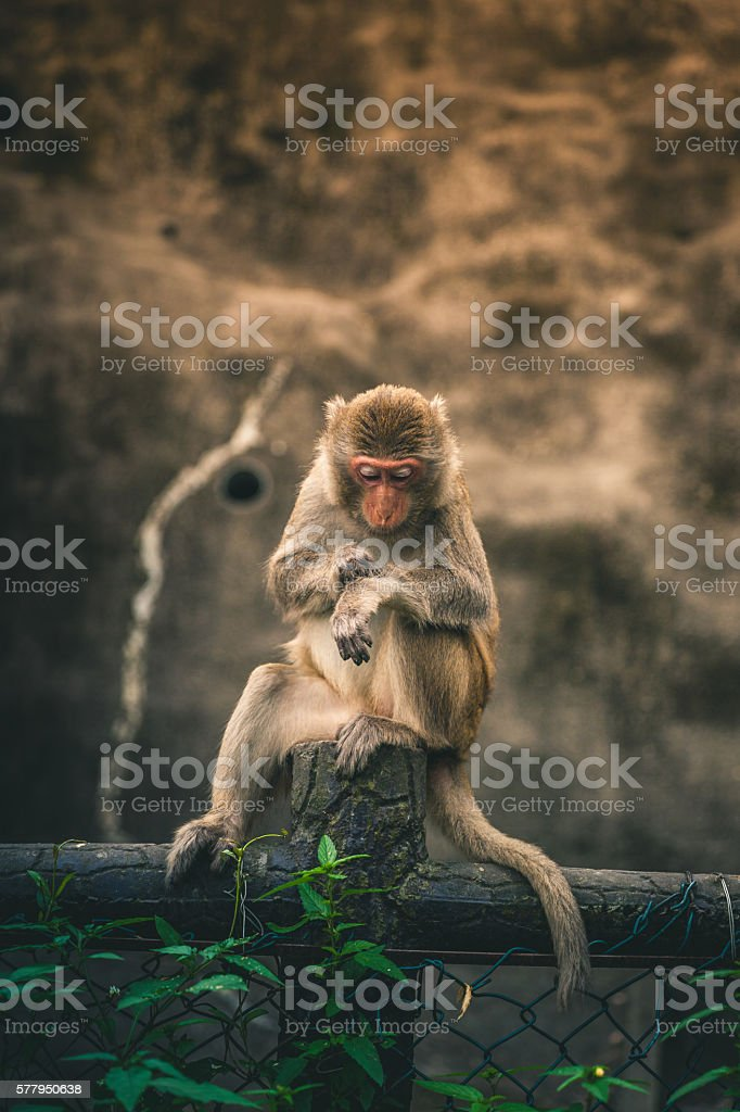 Macaque Perched on top of a fence in Hong Kong royalty-free stock photo