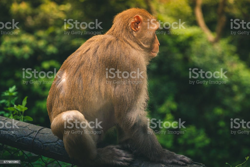 Macaque sitting on a fence looking away from camera royalty-free stock photo