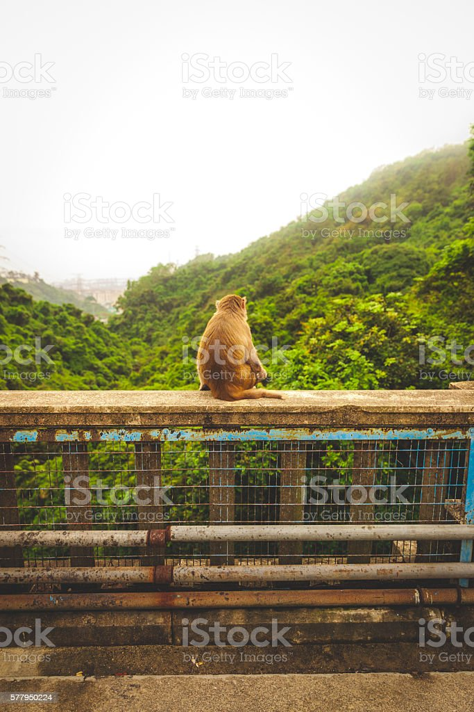 Macaque sitting on a ledge thinking about life royalty-free stock photo