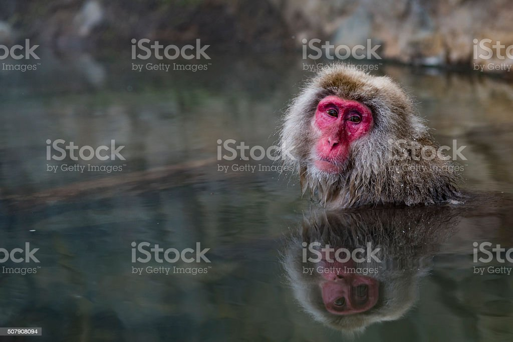 Macaque Snow Monkey in a Hot Spring stock photo