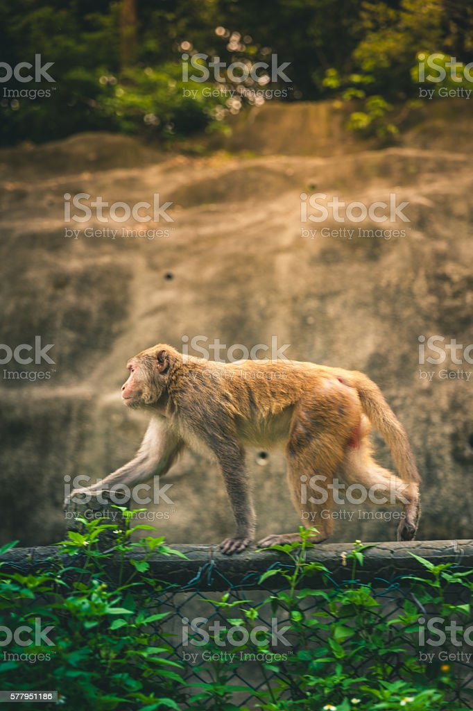 Macaque walking across a fence royalty-free stock photo