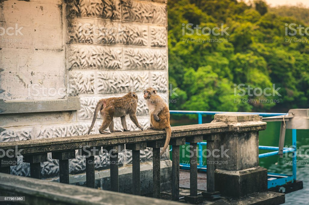 Macaques about to duel on a ledge royalty-free stock photo