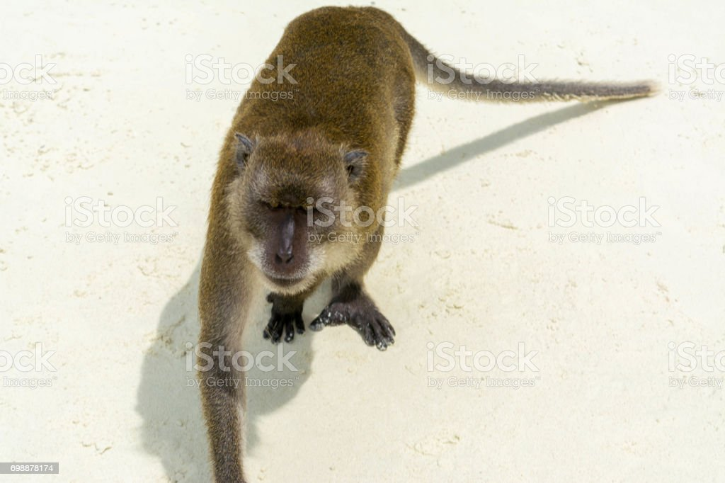 Macaques Monkeys in Thailand stock photo