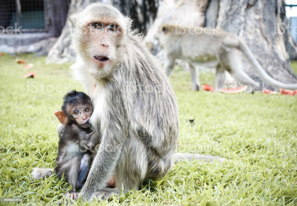 Macaques stock photo
