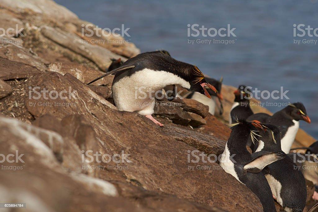 Macaroni Penguin (Eudyptes chrysolophus) stock photo