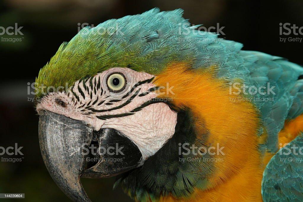 Macaw close-up stock photo