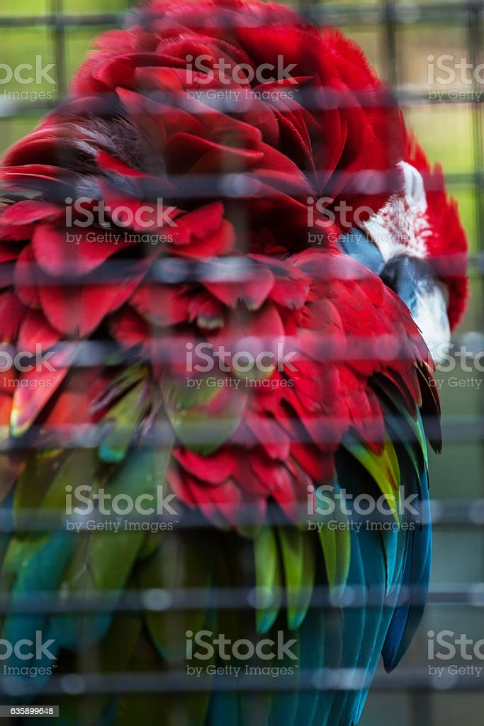 Macaw in birdcage stock photo