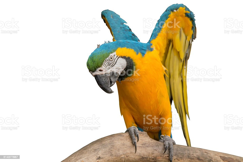 macaw is fly stock photo
