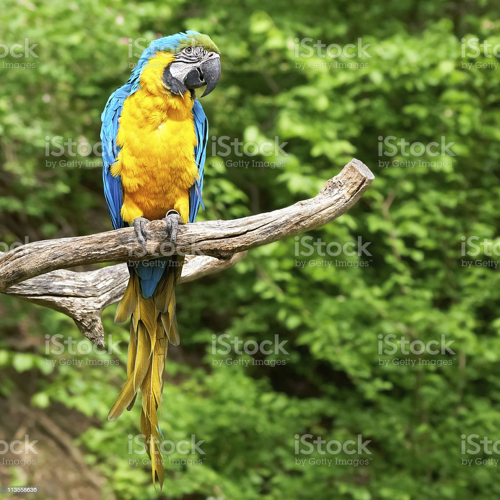 macaw on the branch royalty-free stock photo