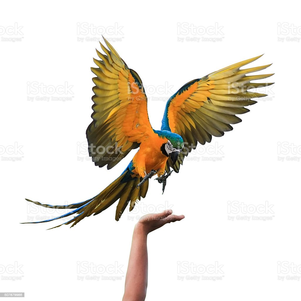 Macaw Parrot isolated on white background with clipping path stock photo