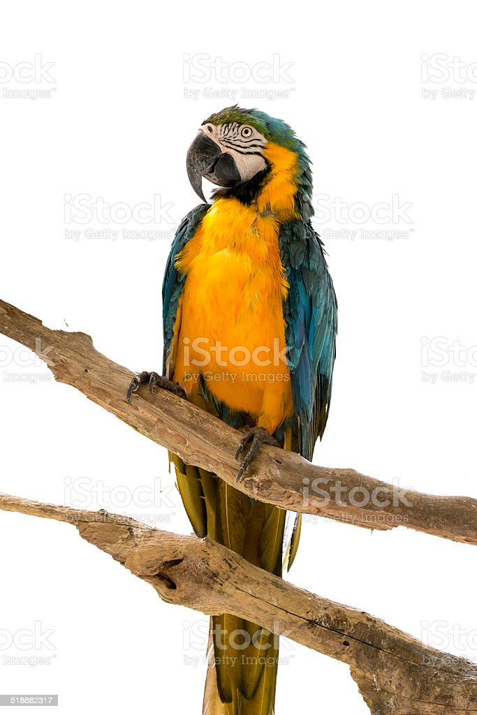 Macaw parrot standing on tree on white stock photo