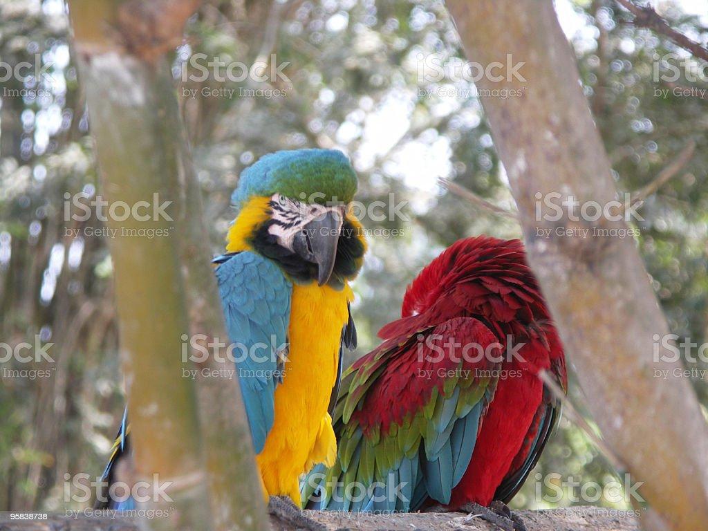 Macaw Parrots stock photo