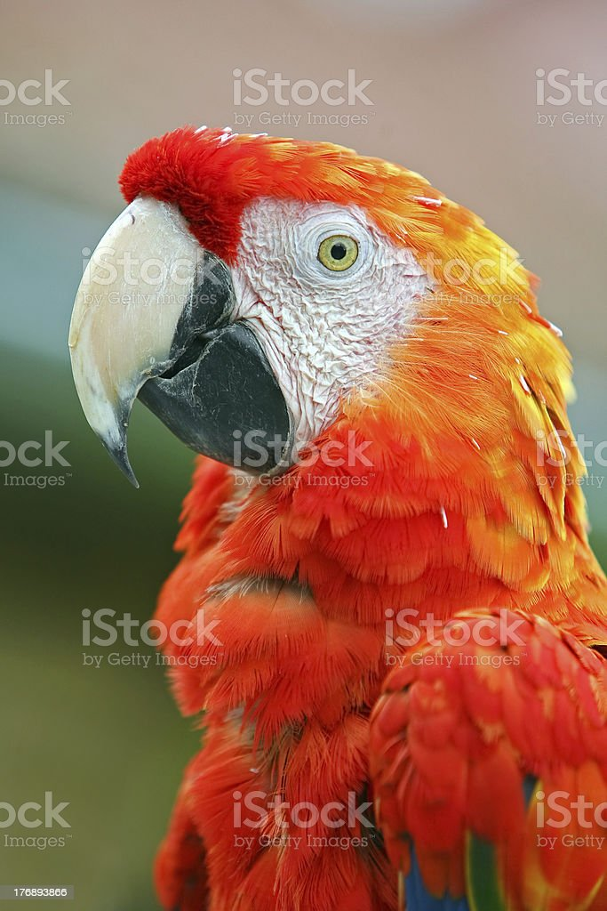 Macaw-Ara royalty-free stock photo