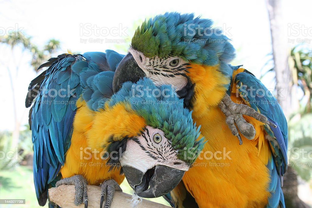 Macaws in Love stock photo