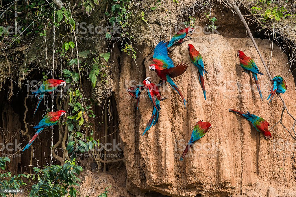 macaws in the peruvian Amazon jungle at Madre de Dios stock photo
