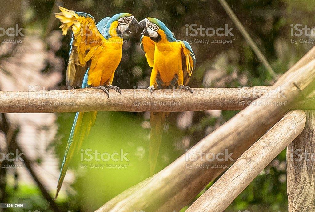 Macaws royalty-free stock photo