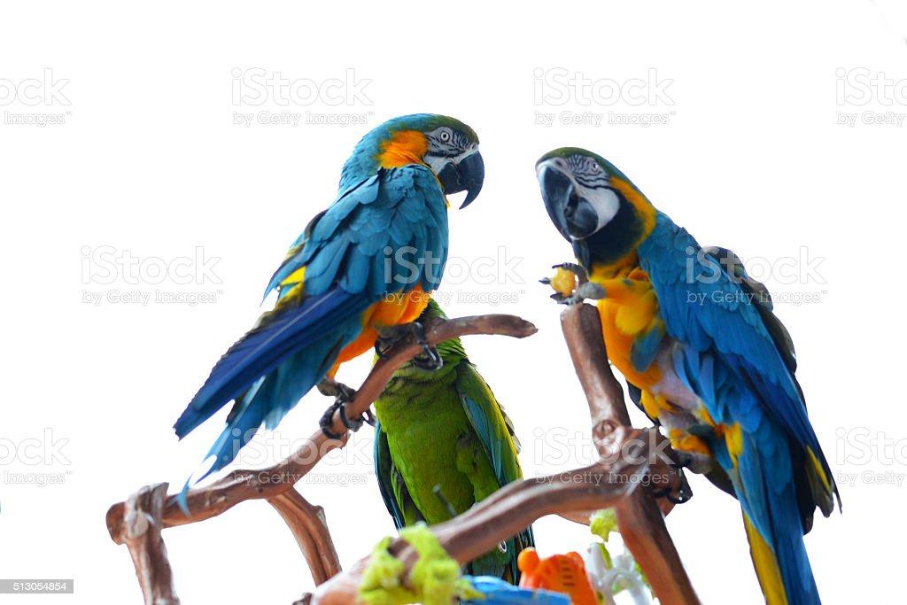 Macaws stock photo
