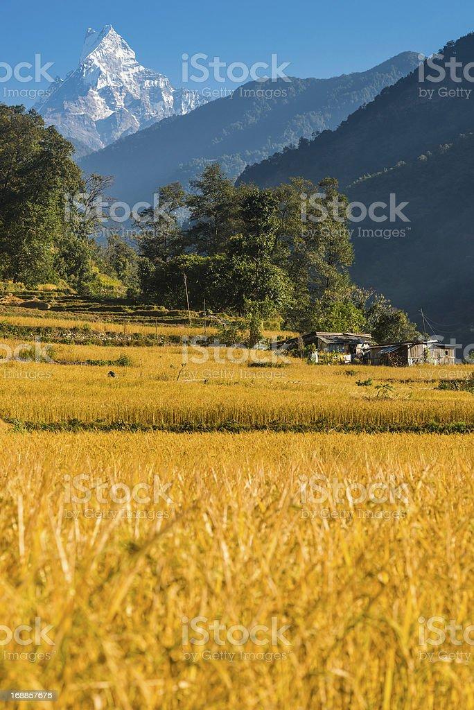 Machapuchare Fishtail mountain golden harvest Himalayas Nepal stock photo