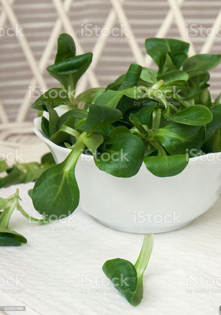 Mache Lettuce, corn salad, freshly harvested from organic farm stock photo