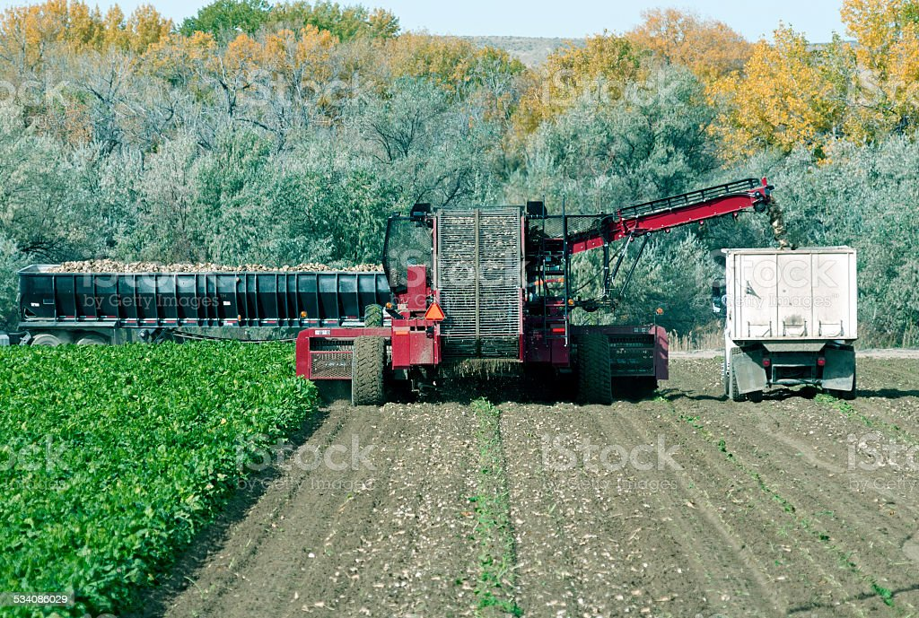 Machine harvesting beets from field in Wyoming stock photo
