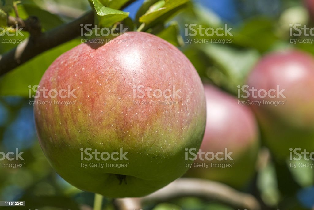 Macintosh Apple Orchard stock photo