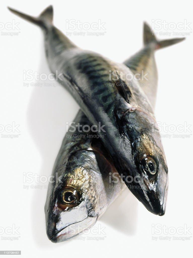 mackerel cut out on white royalty-free stock photo