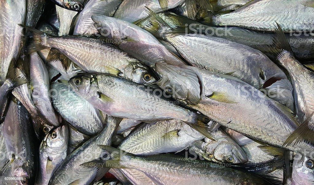 Mackerel fishes stock photo