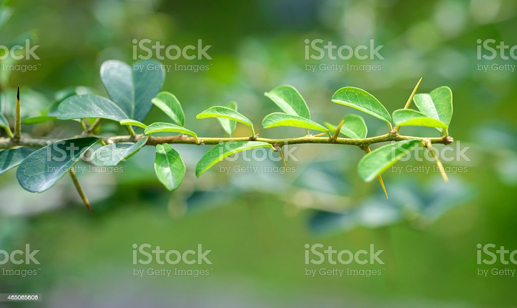 Maclura  cochinchinensis  leaf stock photo
