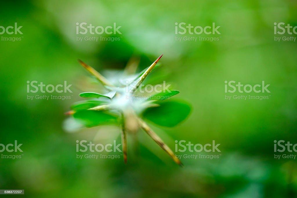 Maclura  cochinchinensis stock photo