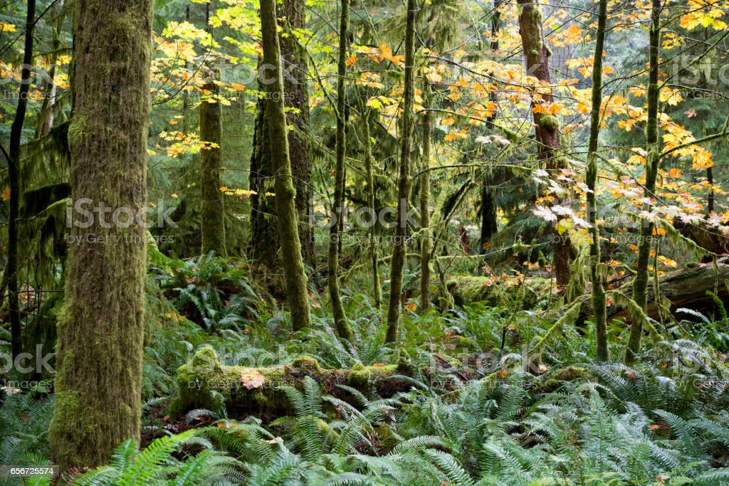 MacMillan Provincial Park Cathedral Grove Vancouver Island stock photo