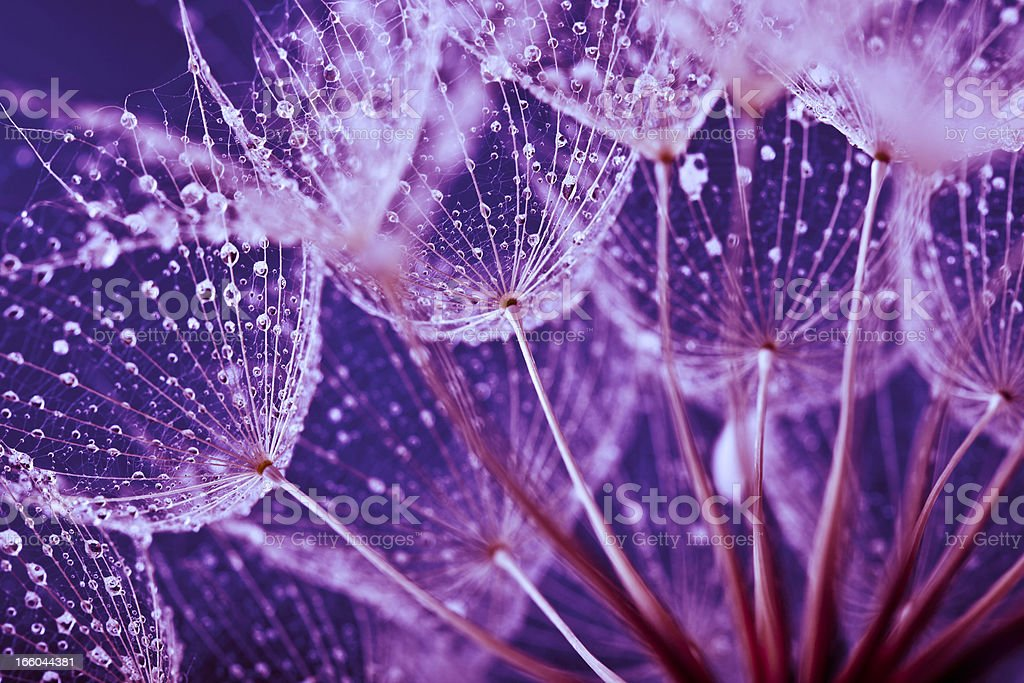 Macro abstract of water drops on dandelion seeds stock photo
