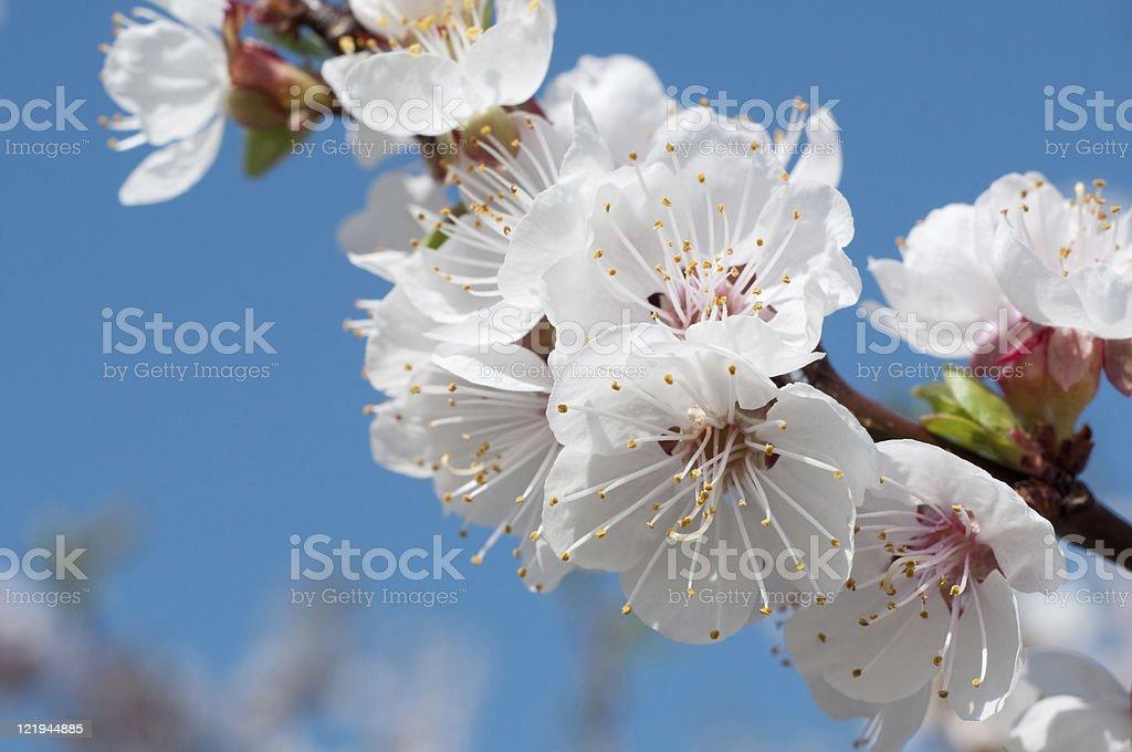 Macro apricot blossoms royalty-free stock photo