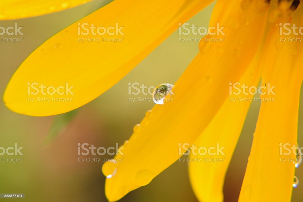Macro background morning dews on sunflower petals stock photo