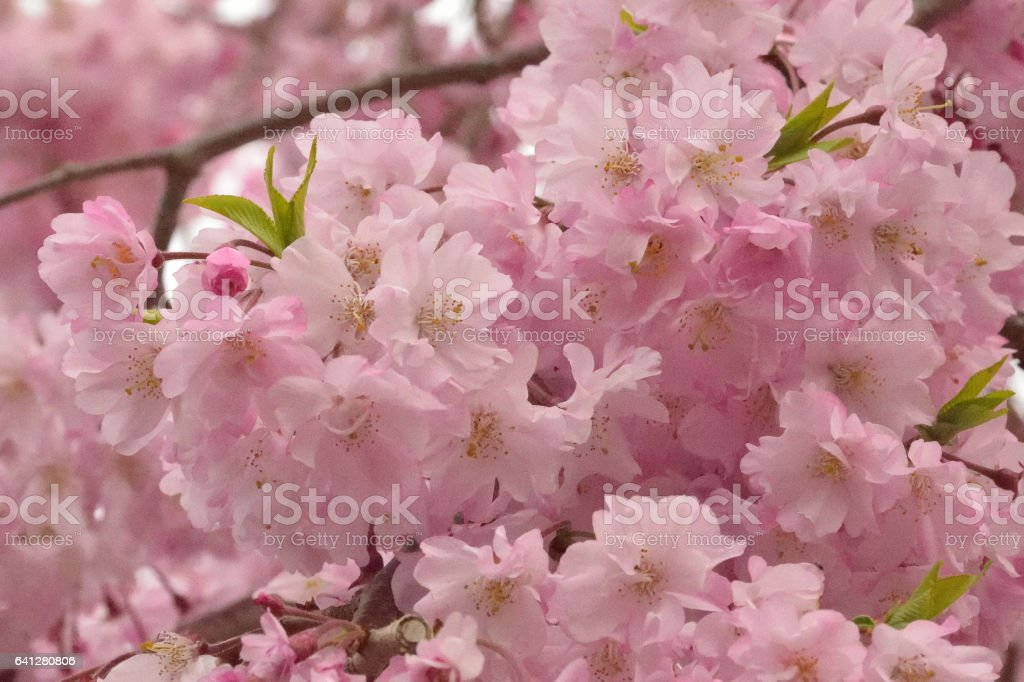 Macro background texture of Pink weeping cherry blossom branches stock photo