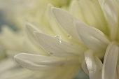 Macro background texture white flower