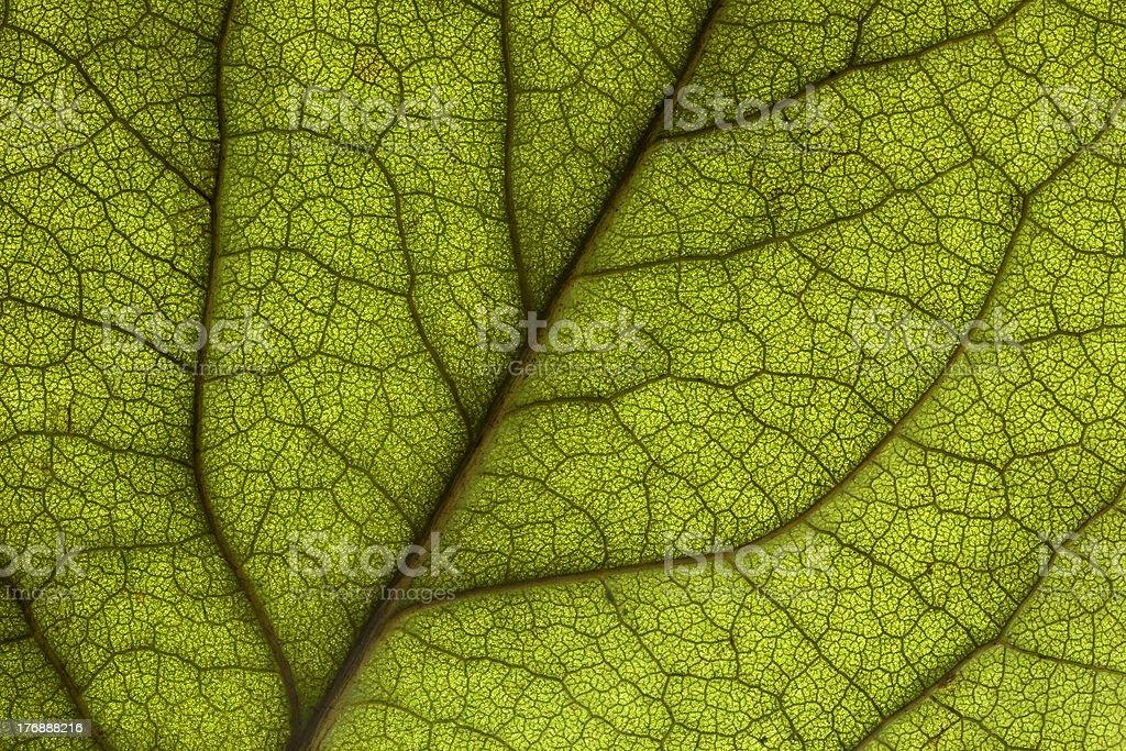 Macro Backlit Rose Leaf royalty-free stock photo