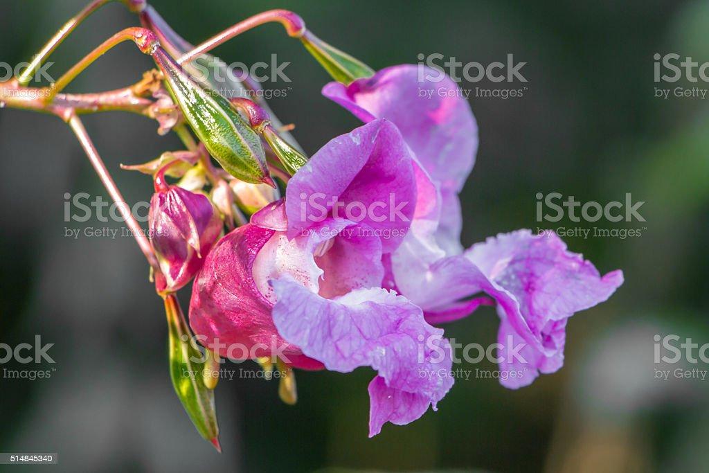 Macro balsimifera stock photo