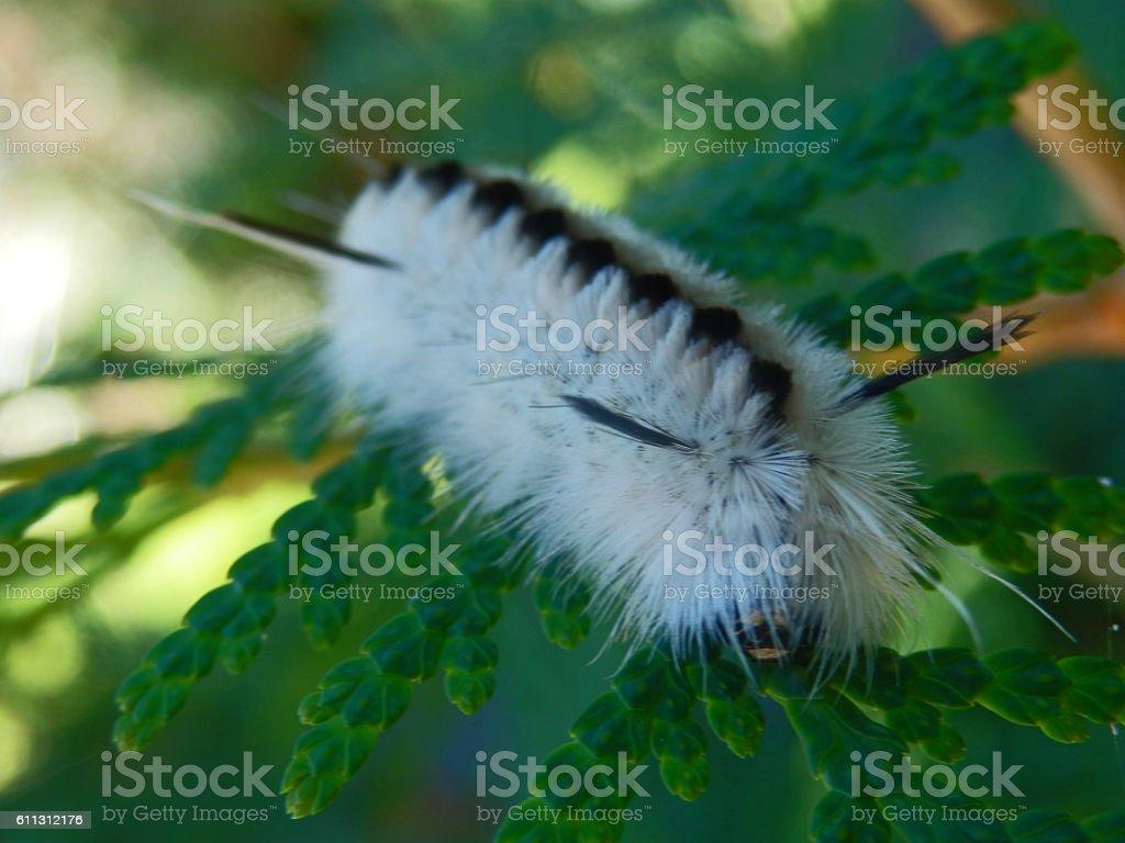 Macro Black and White Caterpillar on Cedar stock photo