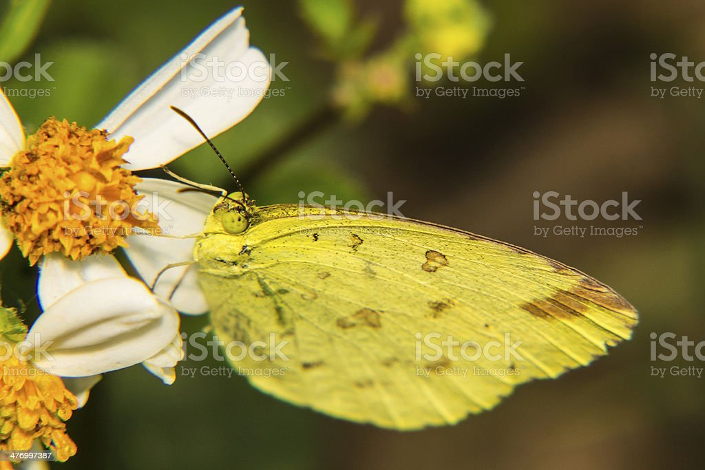 Macro - Butterfly on daisy royalty-free stock photo