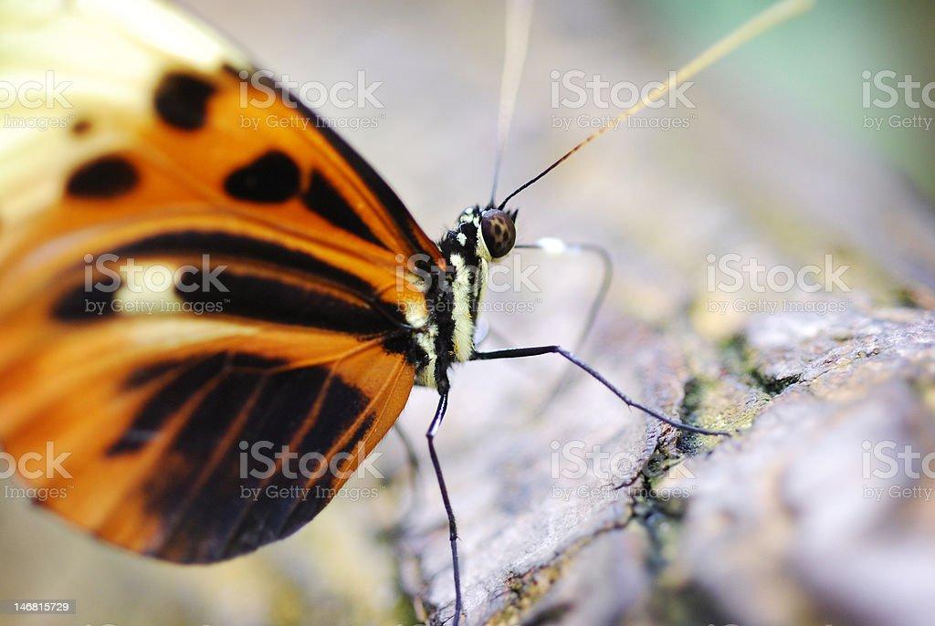 Macro Butterfly royalty-free stock photo