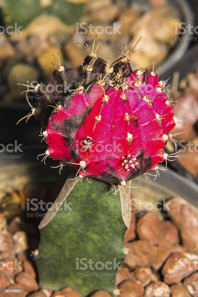 Macro cactus bloom stock photo
