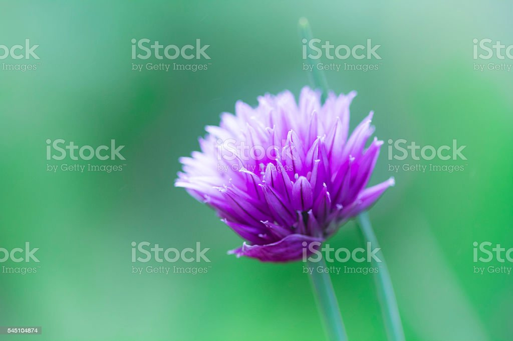 Macro Chives Plant In Garden stock photo