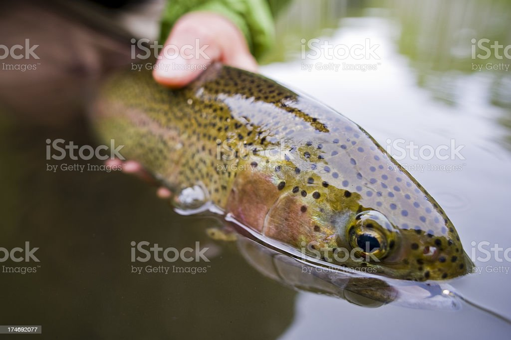 Macro Close up Hands Releasing Large Rainbow Trout While Fly-fishing royalty-free stock photo