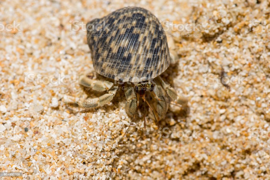 Macro Close up of a Hermit crab with face detail and beautiful shell on large golden grain sand beach. stock photo