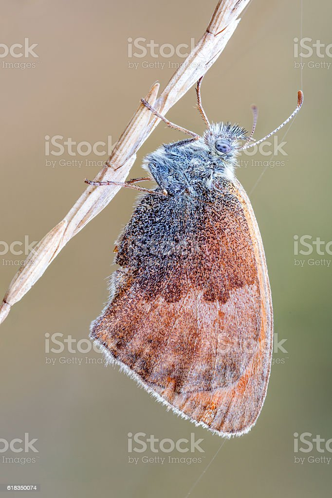 macro close up of a small heath butterfly stock photo