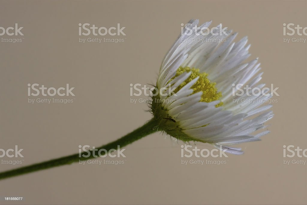 macro close up of a yellow white daisy composite royalty-free stock photo